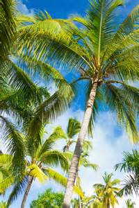 tropical palm tree free stock photo public domain pictures