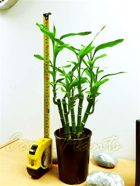 japanese bamboo plant care lucky bamboo group plant in soil white gravel topping pot house office easy care ebay