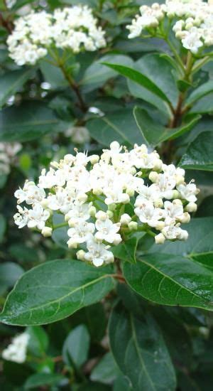 viburnum tinus water tolerant shrub full sun grows