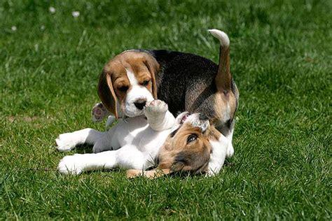 Beagle Welpen Erziehen