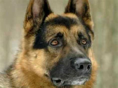 german shepherd dog youtube
