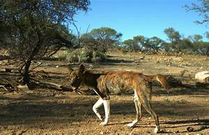 Wild dogs: recognising sheep predation | Department of ...  Wild
