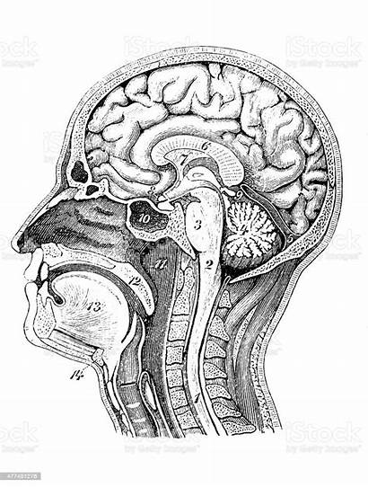 Medical Illustration Scientific Illustrations Head Section Antique
