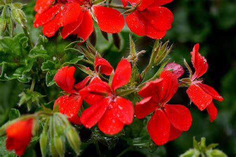 Rote Pilze Im Garten rote bl 252 ten im garten foto bild pflanzen pilze