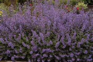 cat mint walker s low catmint