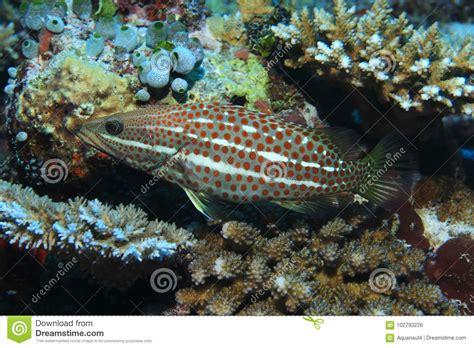 grouper fish slender edible
