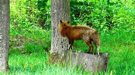 German Wildlife Tiere des deutschen Waldes YouTube