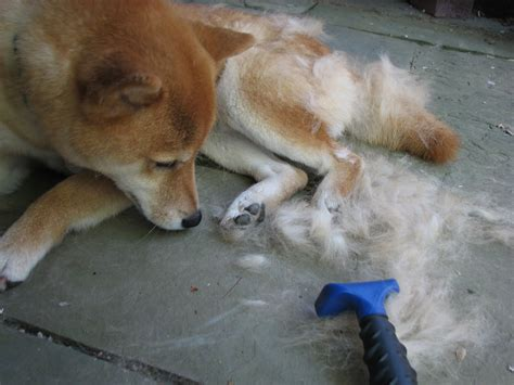 Do Akitas Shed Hair by The Misadventures Of A Shiba Inu Shedding