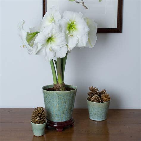 white amaryllis white flower farm