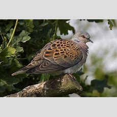 Two Turtle Doves This Christmas? You'll Be Lucky! Birdguides