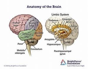 Brain Anatomy And Limbic System