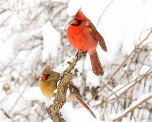 Cardinal Pair of Cardinals Love Birds Birds in Snow