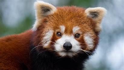 Panda Pandas Wallpapers Background Wallpaperaccess Backgrounds Backiee