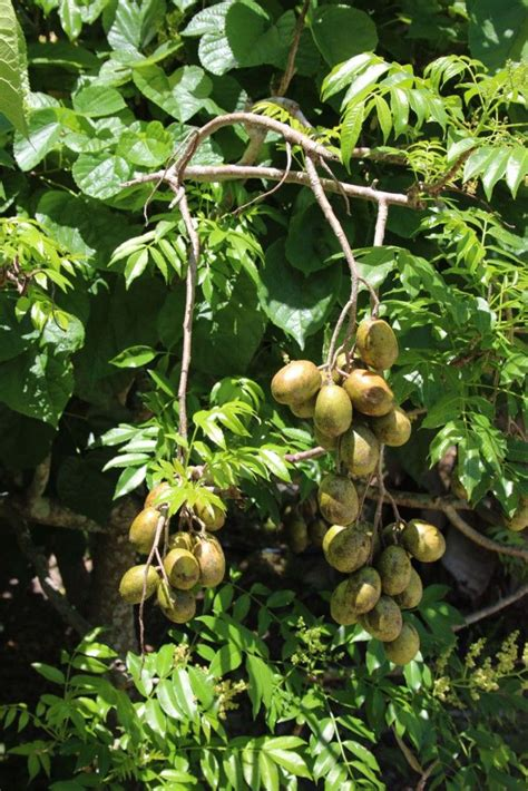 discover  delicious june plum tree