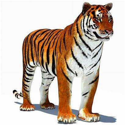 Tiger Animated Animation Tigers 3d Cat Clipart