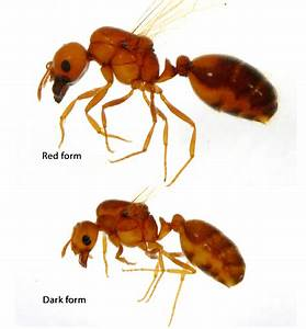 Alate Queens Of Two Forms Of The Tropical Fire Ant