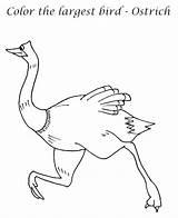 Emu Coloring Ostrich Largest Printable Bird Getdrawings Getcolorings sketch template