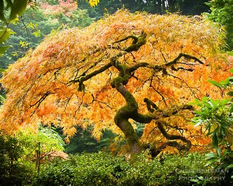 glowing japanese maple in fall chris bidleman photography