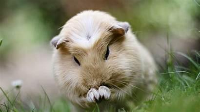 Pig Guinea Wallpapers Animal Desktop Chainimage 1080