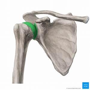 Shoulder Joint  Articulatio Glenohumeralis