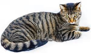 tiger cat breed sisl s mega pack feat wars dlc 2 5 1 upd 08 03 2017