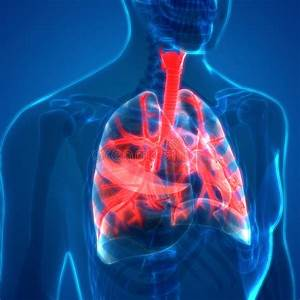Human Lungs Inside Anatomy Larynx  Trachea  Bronchioles
