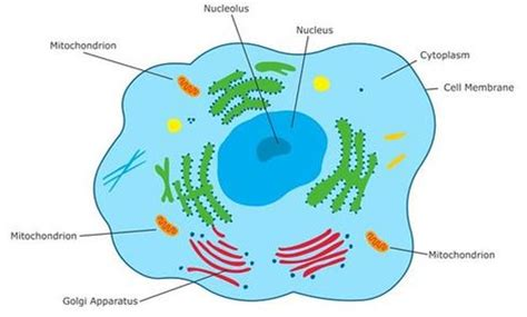 difference  plant  animal cells skoolerscom