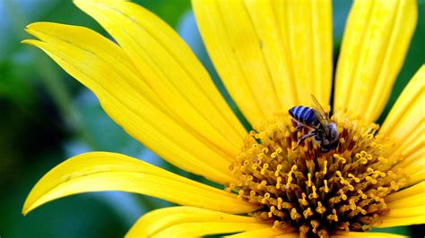 big yellow flower wallpapers hd wallpapers id