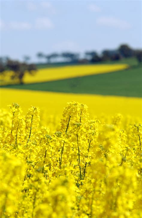 Background Crop Canola Crop With Wheat Crop In Csiro Science Image