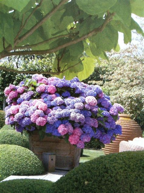 glorious hydrangea container garden through my garden gate flower pots and how