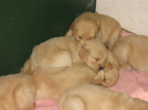 Golden Retriever  Ee  Puppies Ee    By Tari Stock On Deviantart