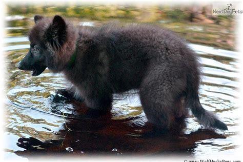 Que Wolf Hybrid Puppy For Sale Near Las Vegas, Nevada