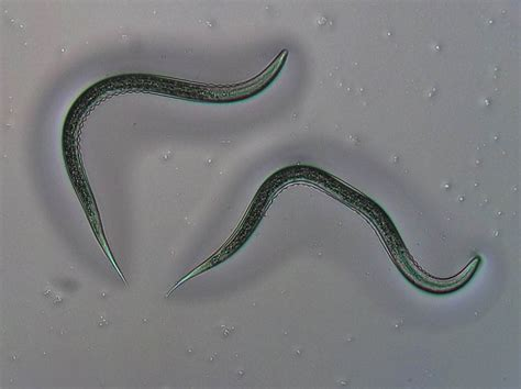 How nematodes outsmart the defenses of pests - Science Spies