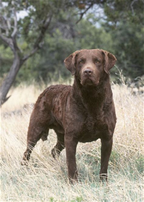 chesapeake bay retriever vs lab shedding chesapeake bay retriever history temperament