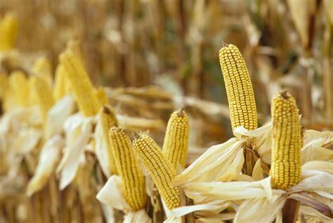 grain opportunities   future corn