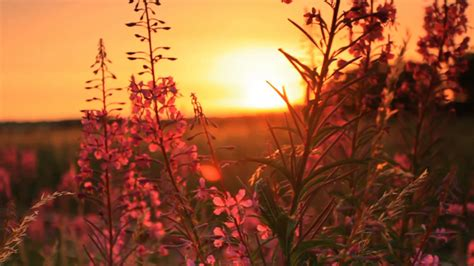 download free footage image sunset through some flowers 2 stock video footage