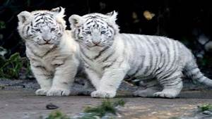 17 Best images about White tiger on Pinterest | Kitty cats ...