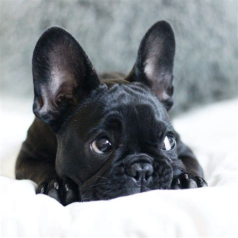 1000 Ideas About Black French Bulldogs On Pinterest