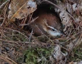 carolina wren nest birds swallows wrens pinterest