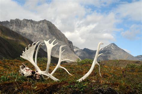 caribou antlers  skull  gates   arctic national