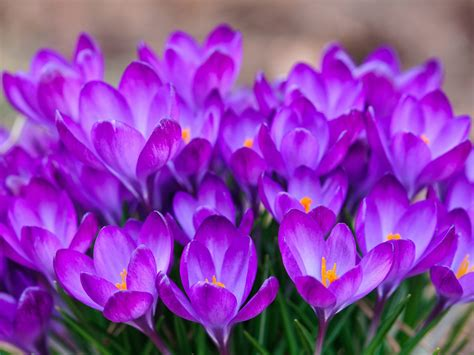 Check spelling or type a new query. Crocuses-beautiful purple flowers-HD Wallpapers for laptop ...