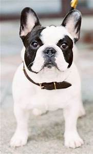 Black and White Pied French Bulldog. Perfect Dogs, Dogs 3 ...