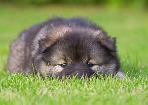 Non Shedding Dogs Small To Medium by Eurasier Dog Breed Information Pictures And Facts