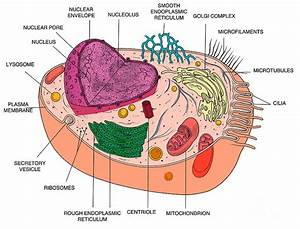 Animal Cell Diagram Photograph By Science Source