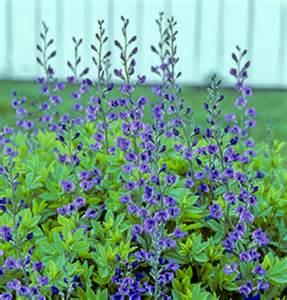 Flocking Christmas Tree At Home by Viette S Baptisia Australis Blue False Indigo