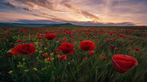 field  red poppies  green grass dark clouds sunset