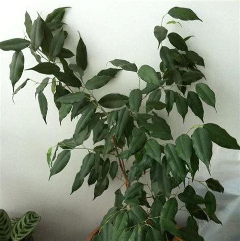 benjamin pflanze pflege ficus benjamin kunstpflanze