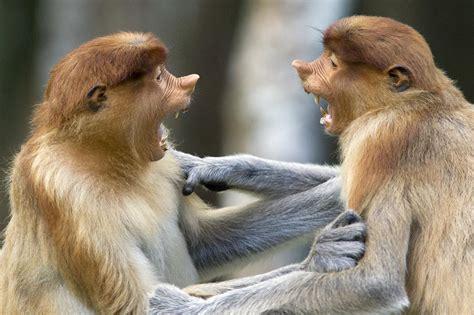 bananas behaviour proboscis monkeys