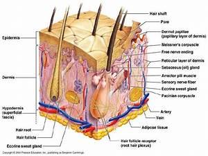 Dermatology Skin Anatomy  Dr Darseem