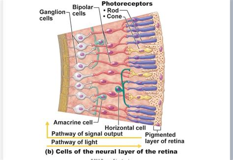 receptor cells in the retina responsible for color vision are midterm 2 perception psychology 149 with epstein at